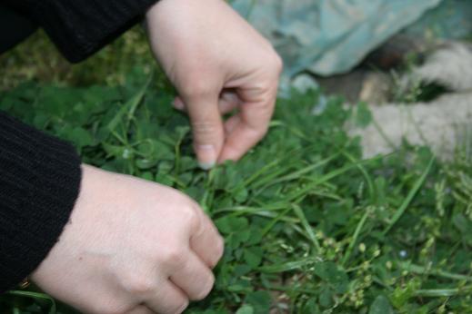 سبزه گره زدن